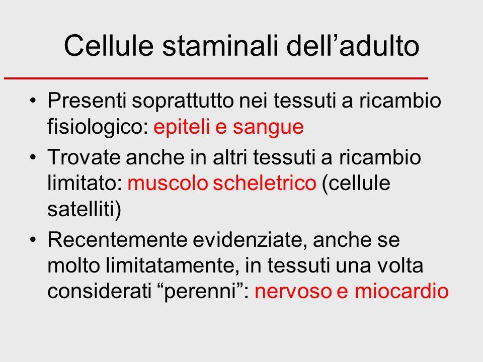 Cellule staminali dell'adulto
