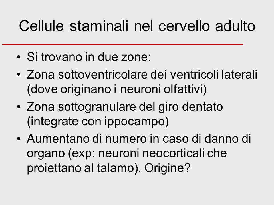 Cellule staminali nel cervello adulto