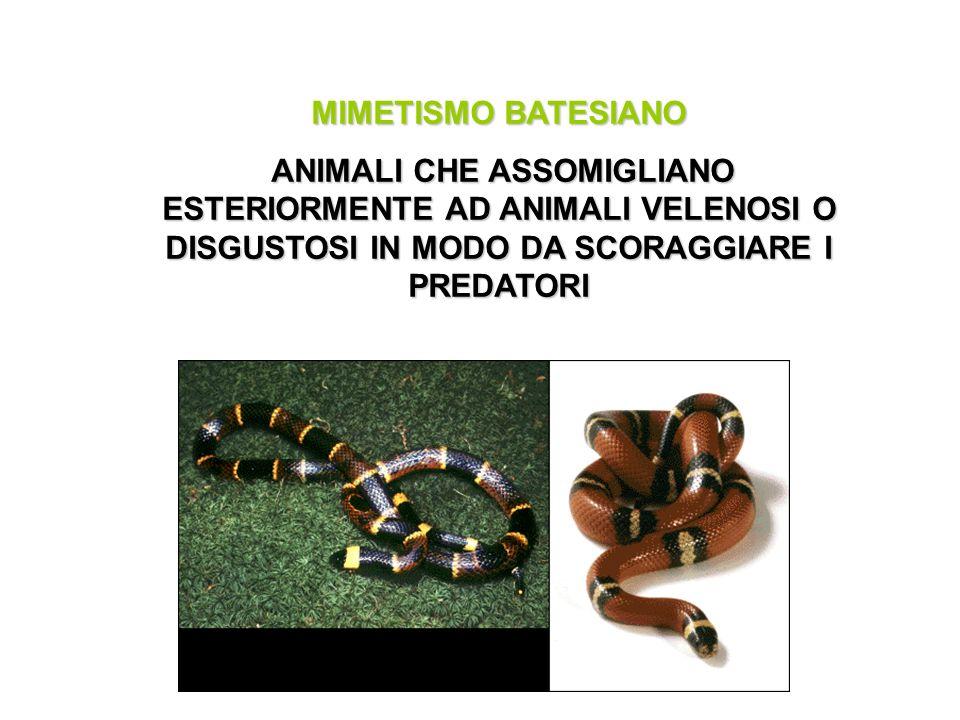 MIMETISMO BATESIANO ANIMALI CHE ASSOMIGLIANO ESTERIORMENTE AD ANIMALI VELENOSI O DISGUSTOSI IN MODO DA SCORAGGIARE I PREDATORI.