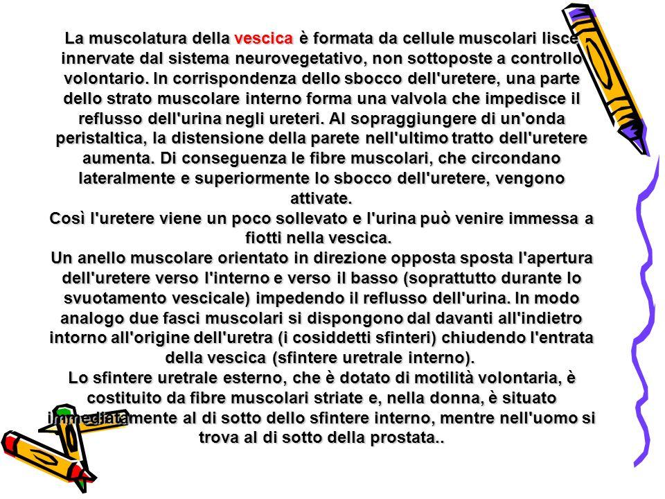 La muscolatura della vescica è formata da cellule muscolari lisce innervate dal sistema neurovegetativo, non sottoposte a controllo volontario.