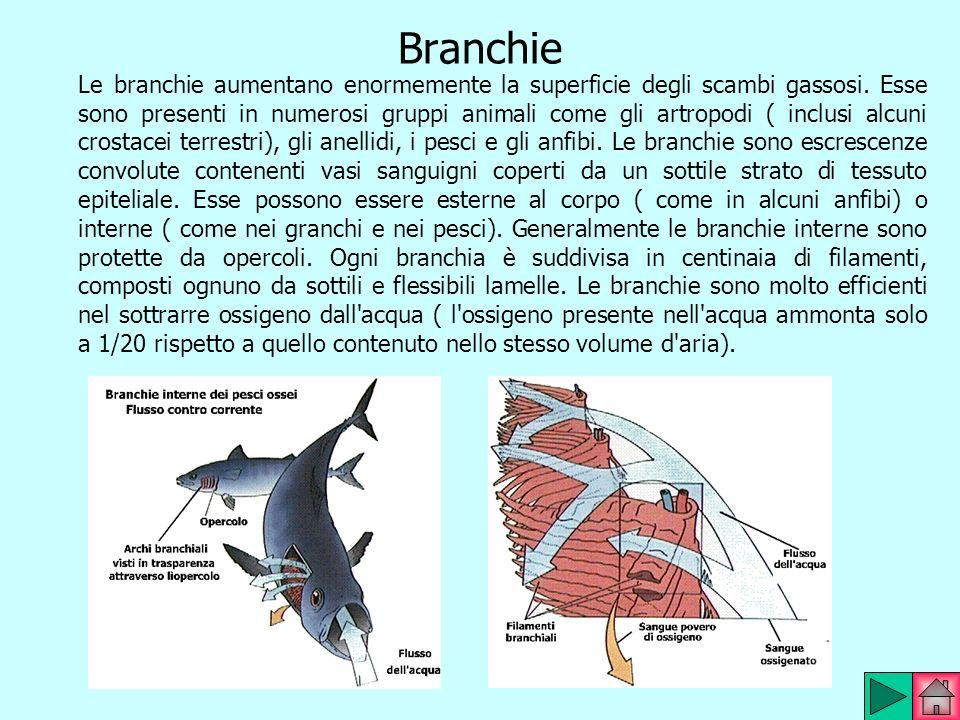 Branchie