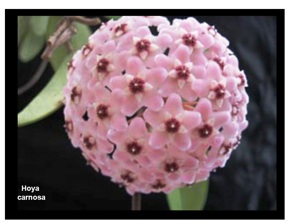 E infine un fiore, l'Hoya carnosa, la cui struttura somiglia straordinariamente all'HPV!
