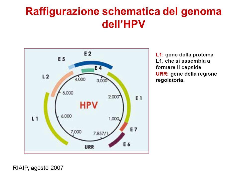 Raffigurazione schematica del genoma dell'HPV