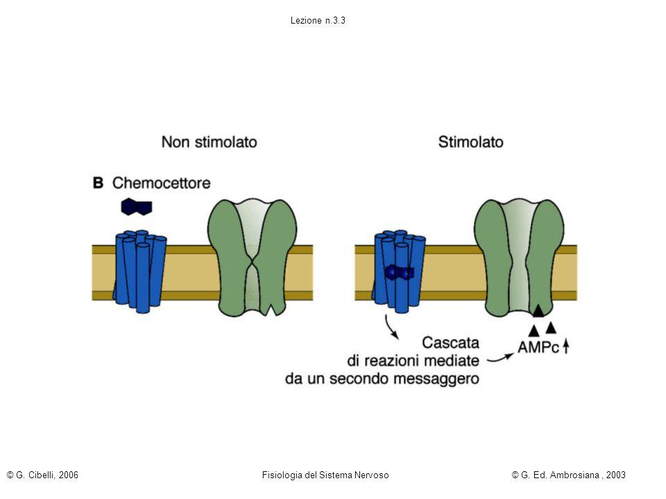 Lezione n.3.3 © G. Cibelli, 2006 Fisiologia del Sistema Nervoso © G. Ed. Ambrosiana , 2003