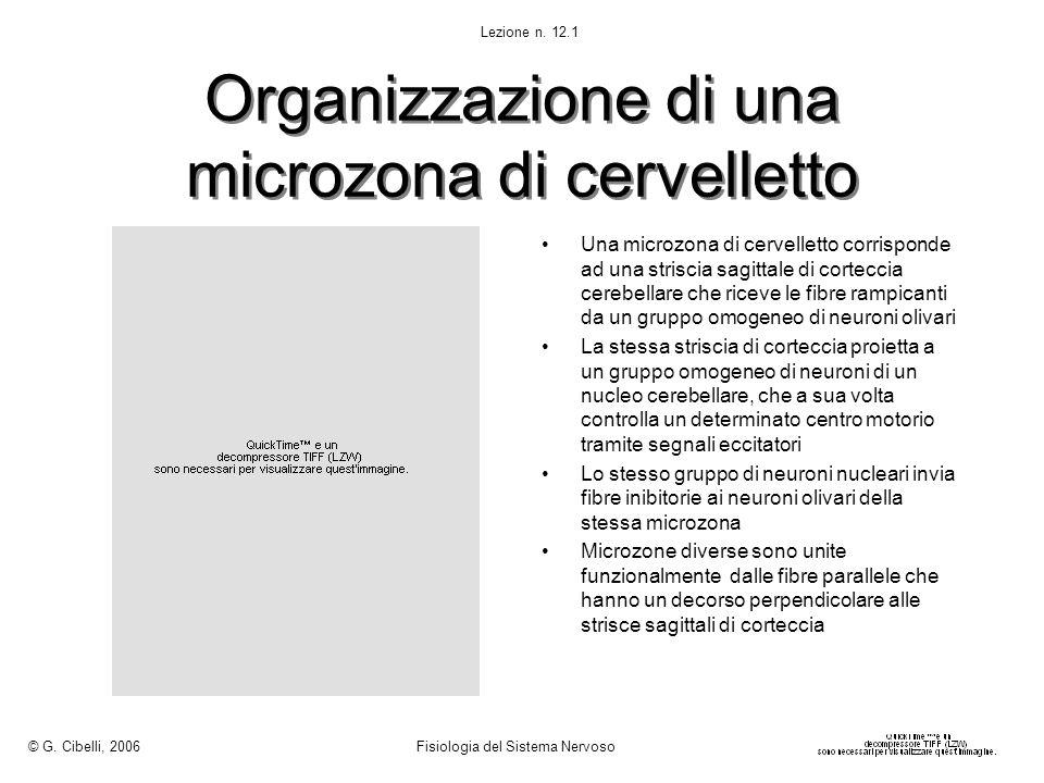 Organizzazione di una microzona di cervelletto