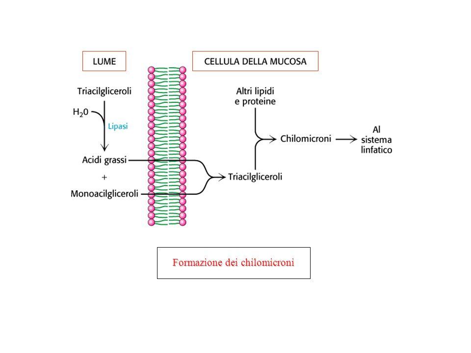Formazione dei chilomicroni
