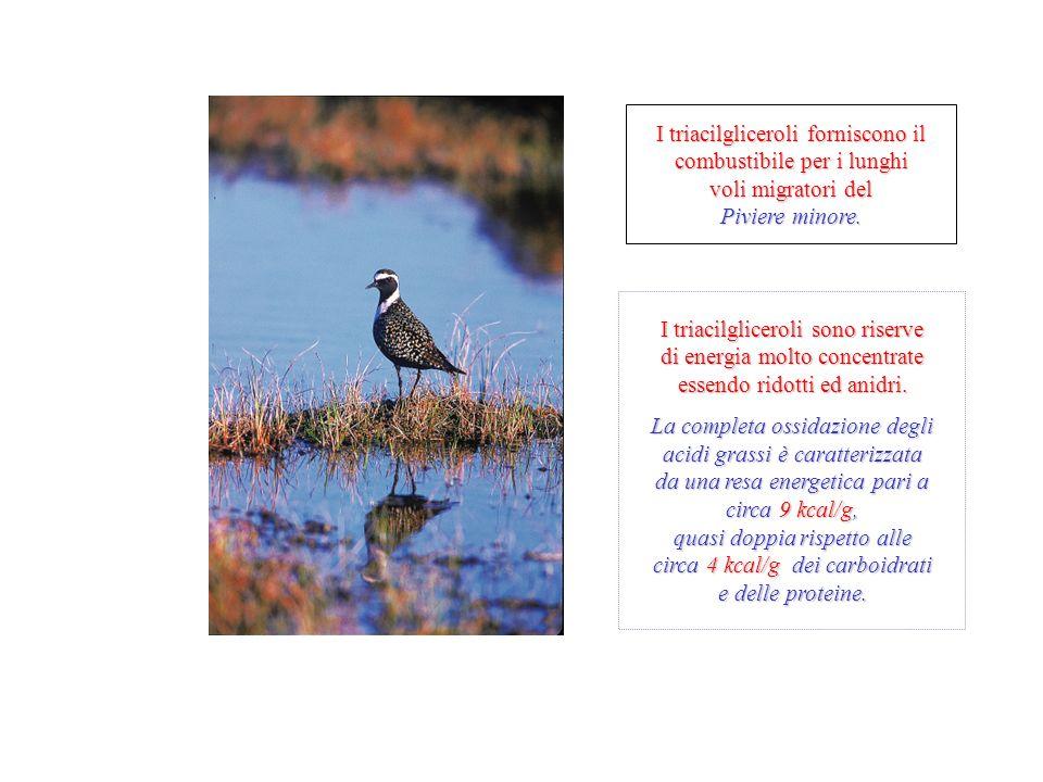 I triacilgliceroli forniscono il combustibile per i lunghi voli migratori del Piviere minore.