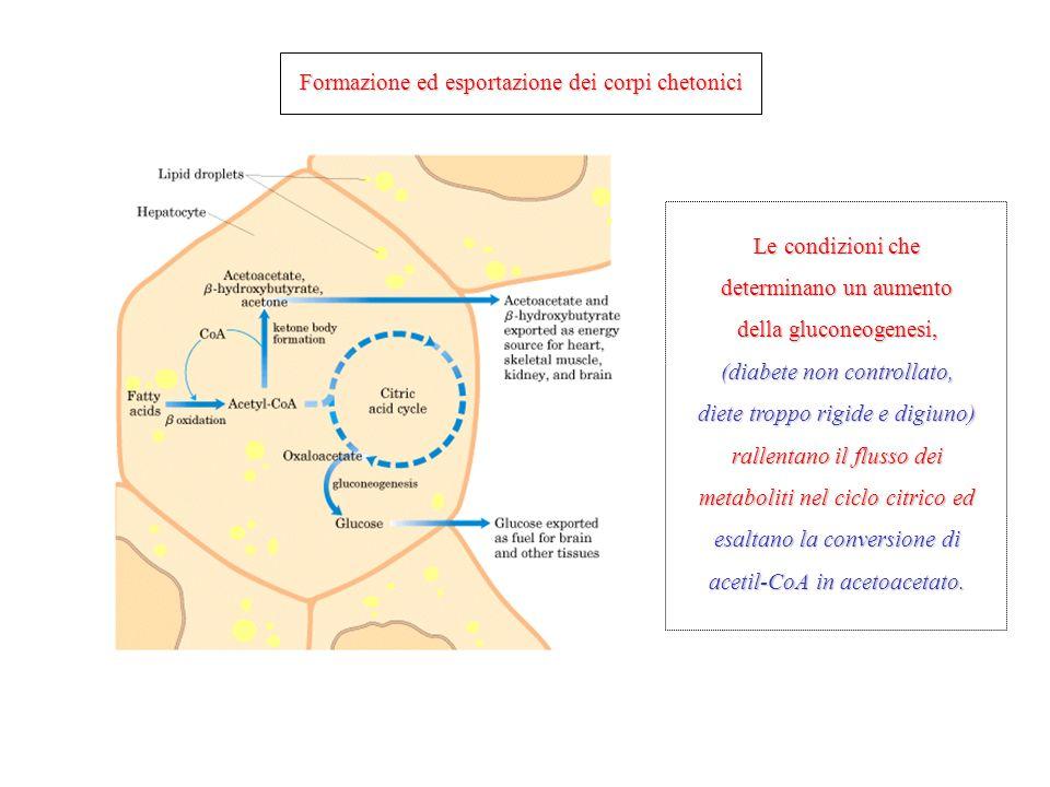 Formazione ed esportazione dei corpi chetonici