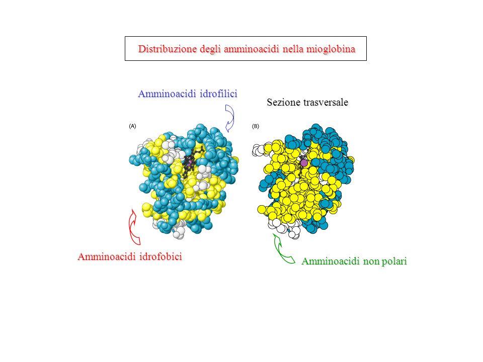 Distribuzione degli amminoacidi nella mioglobina