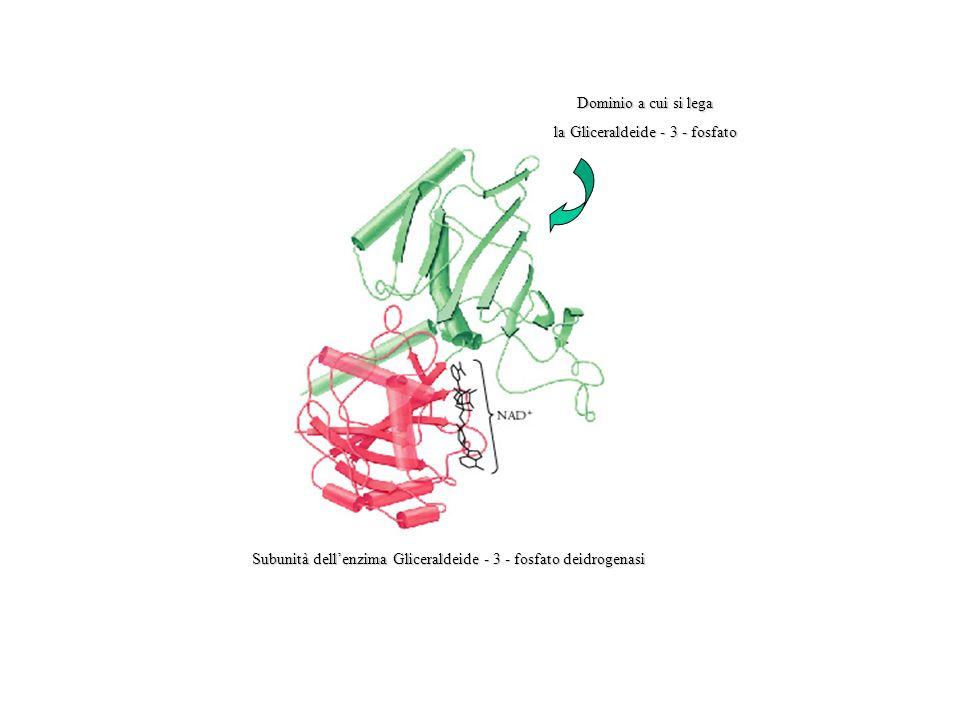 la Gliceraldeide - 3 - fosfato