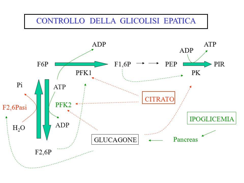 CONTROLLO DELLA GLICOLISI EPATICA