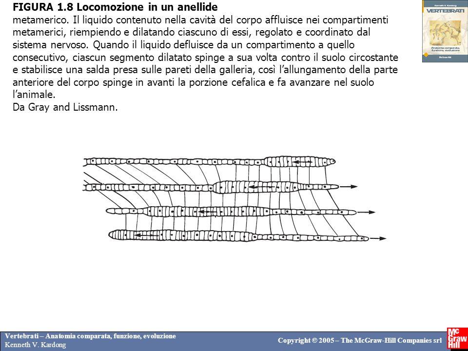 FIGURA 1. 8 Locomozione in un anellide metamerico