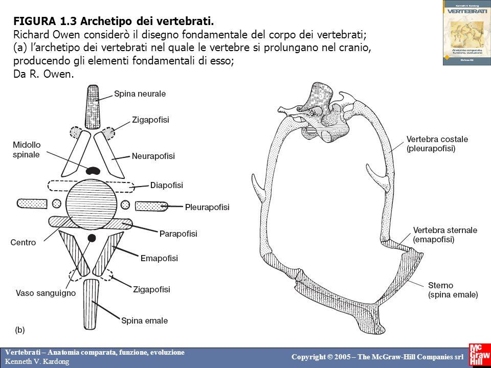 FIGURA 1. 3 Archetipo dei vertebrati