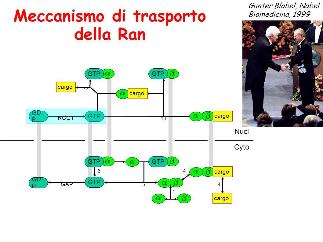Meccanismo di trasporto della Ran