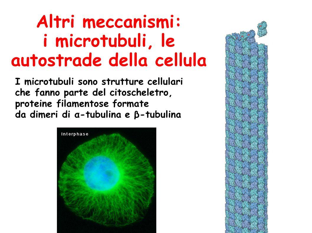 Altri meccanismi: i microtubuli, le autostrade della cellula