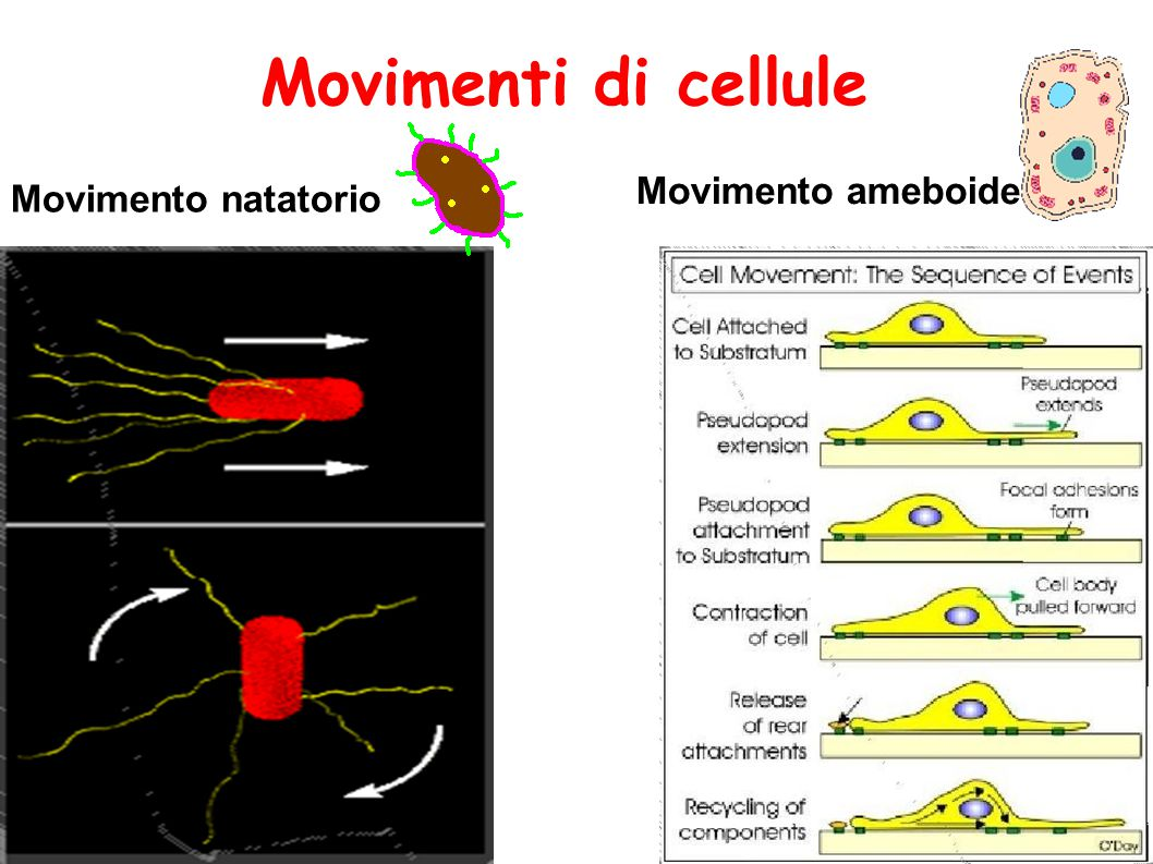 Movimenti di cellule Movimento ameboide Movimento natatorio