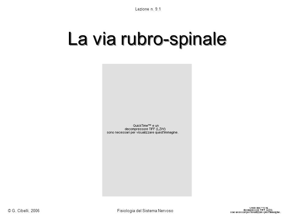 La via rubro-spinale © G. Cibelli, 2006 Fisiologia del Sistema Nervoso