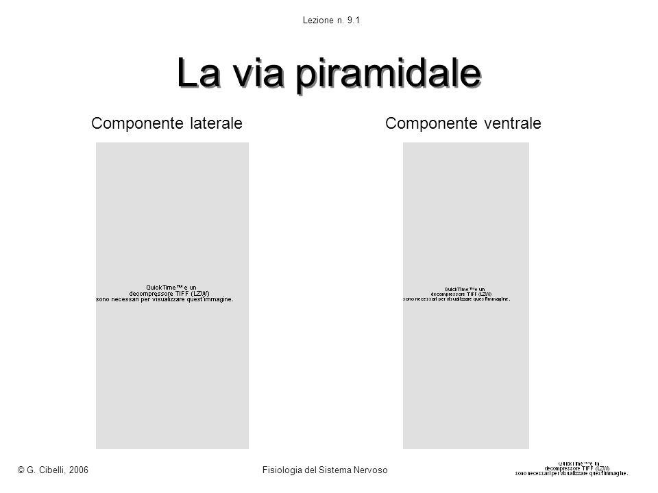 La via piramidale Componente laterale Componente ventrale