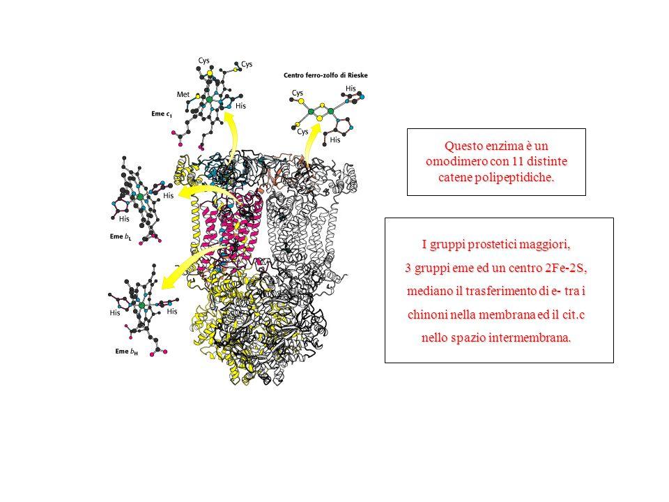 Questo enzima è un omodimero con 11 distinte catene polipeptidiche.