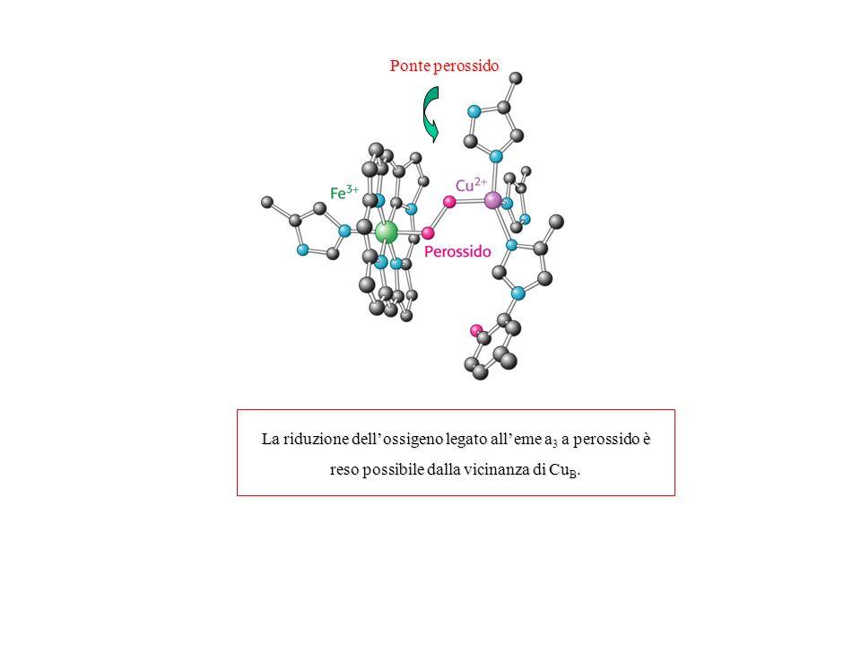 La riduzione dell'ossigeno legato all'eme a3 a perossido è
