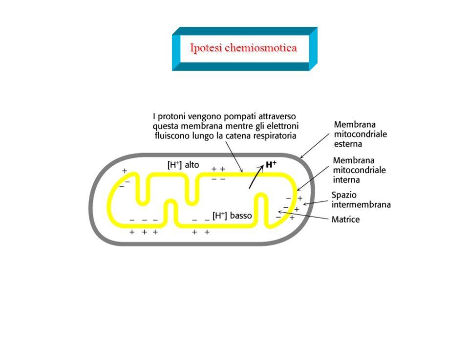 Ipotesi chemiosmotica