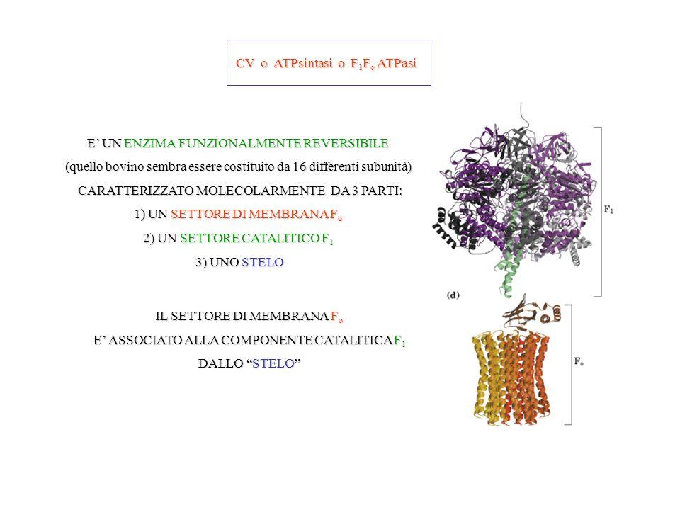 CV o ATPsintasi o F1Fo ATPasi