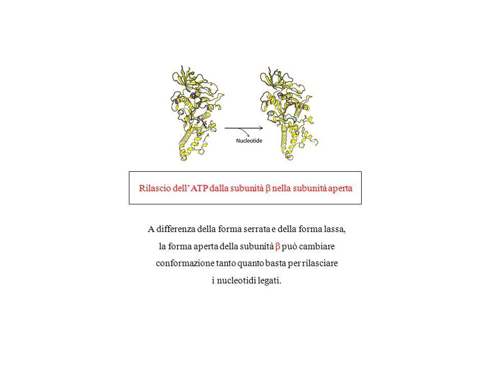 Rilascio dell'ATP dalla subunità  nella subunità aperta