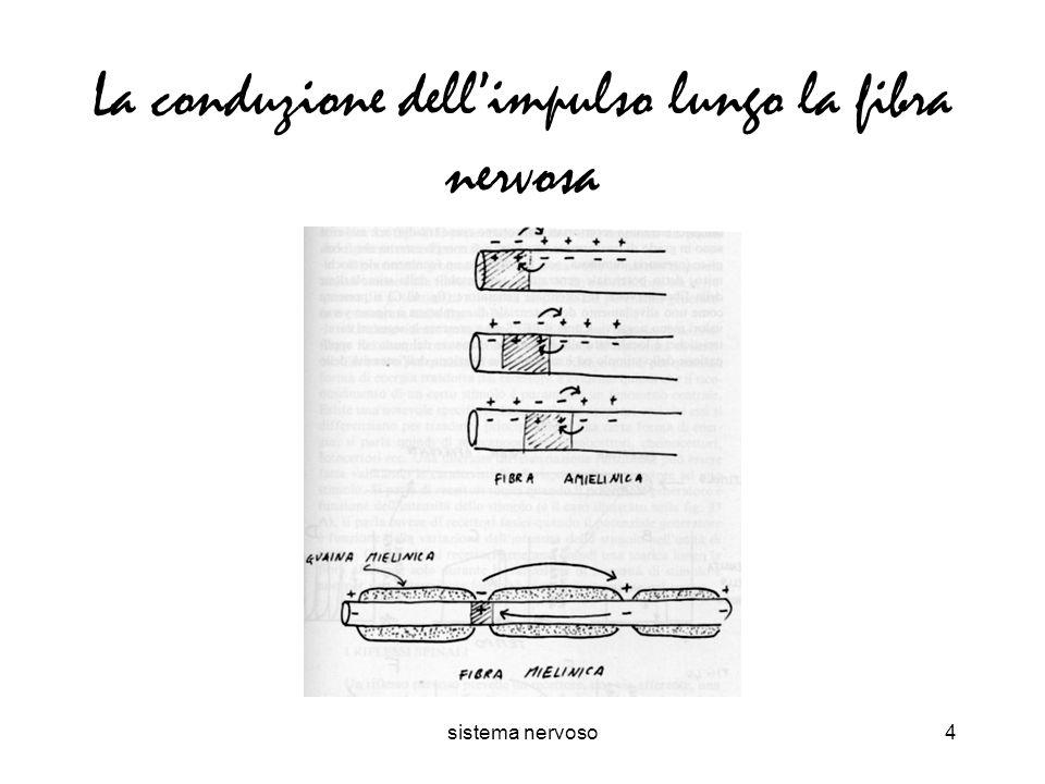 La conduzione dell'impulso lungo la fibra nervosa