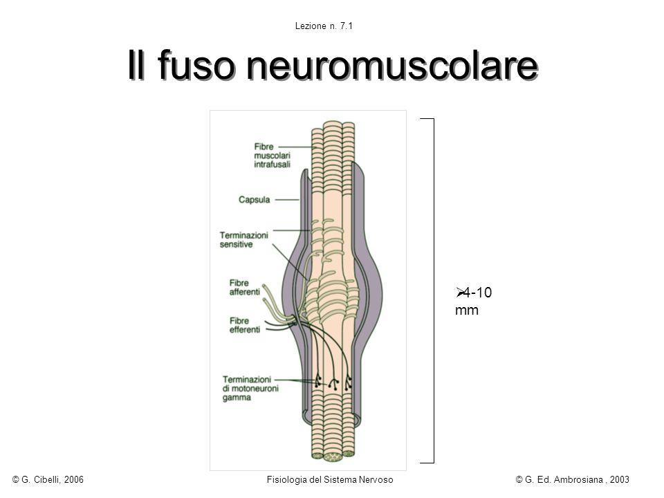 Il fuso neuromuscolare