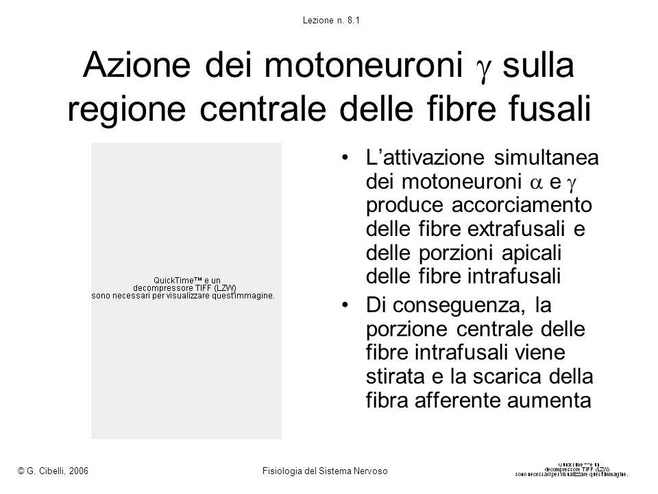 Azione dei motoneuroni  sulla regione centrale delle fibre fusali