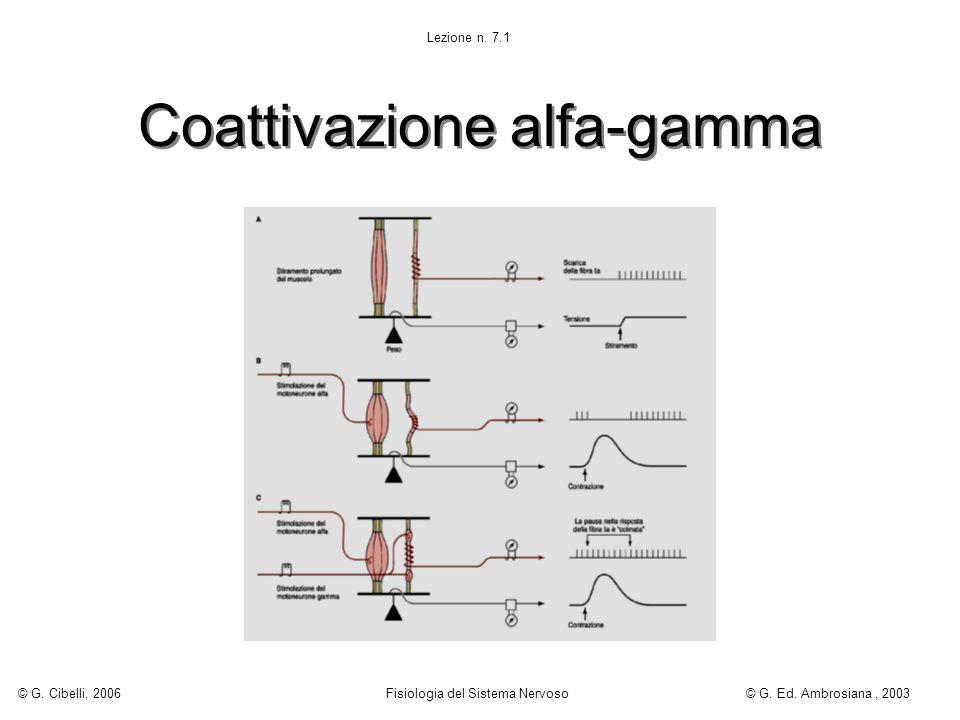 Coattivazione alfa-gamma