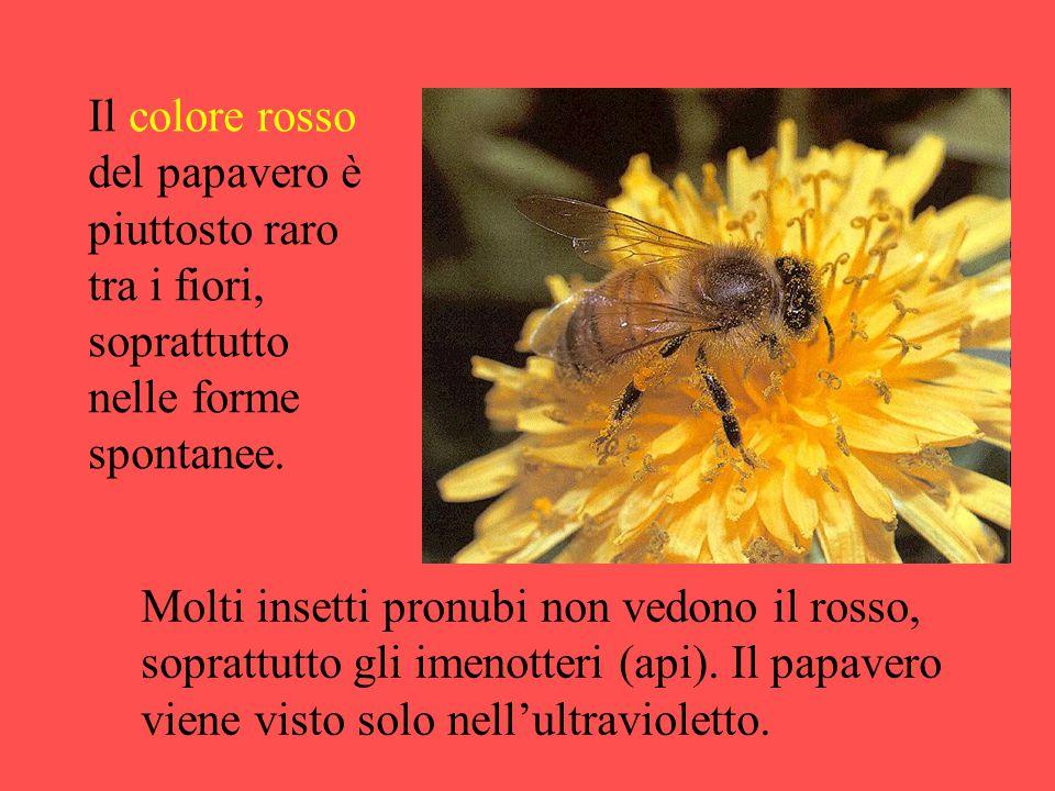 Il colore rosso del papavero è piuttosto raro tra i fiori, soprattutto nelle forme spontanee.