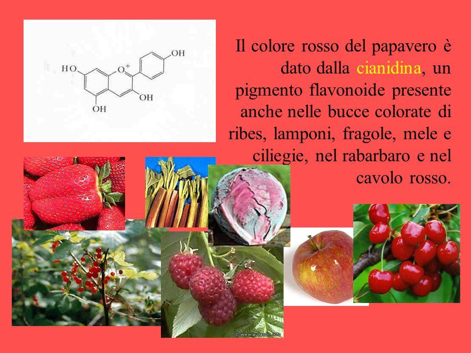 Il colore rosso del papavero è dato dalla cianidina, un pigmento flavonoide presente anche nelle bucce colorate di ribes, lamponi, fragole, mele e ciliegie, nel rabarbaro e nel cavolo rosso.