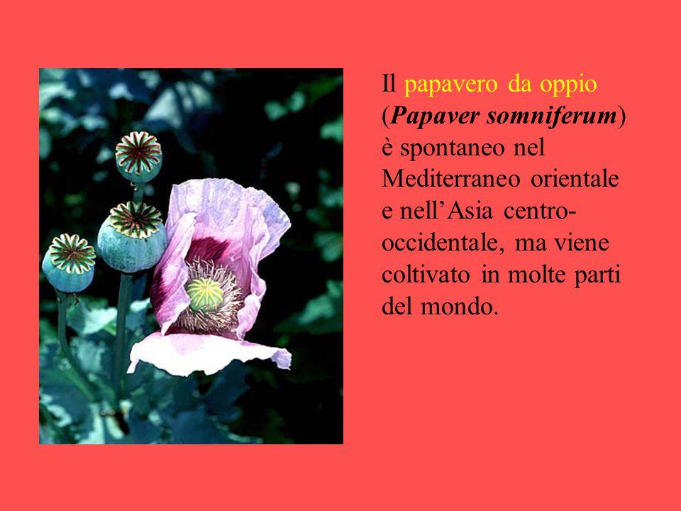 Il papavero da oppio (Papaver somniferum) è spontaneo nel Mediterraneo orientale e nell'Asia centro-occidentale, ma viene coltivato in molte parti del mondo.