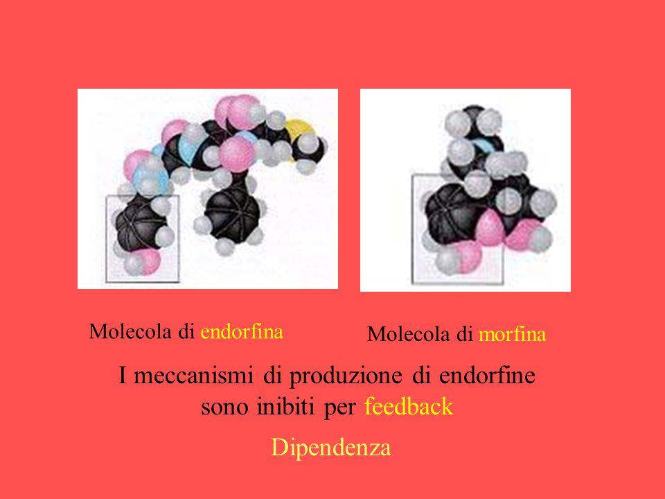 I meccanismi di produzione di endorfine sono inibiti per feedback