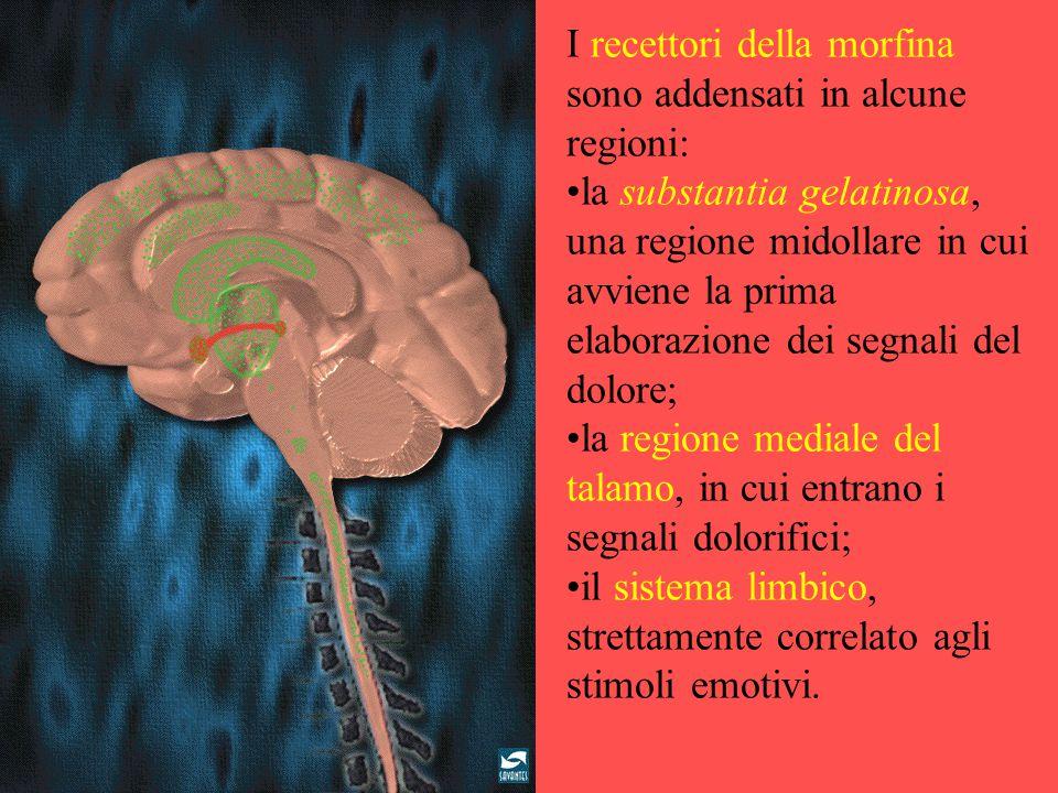 I recettori della morfina sono addensati in alcune regioni: