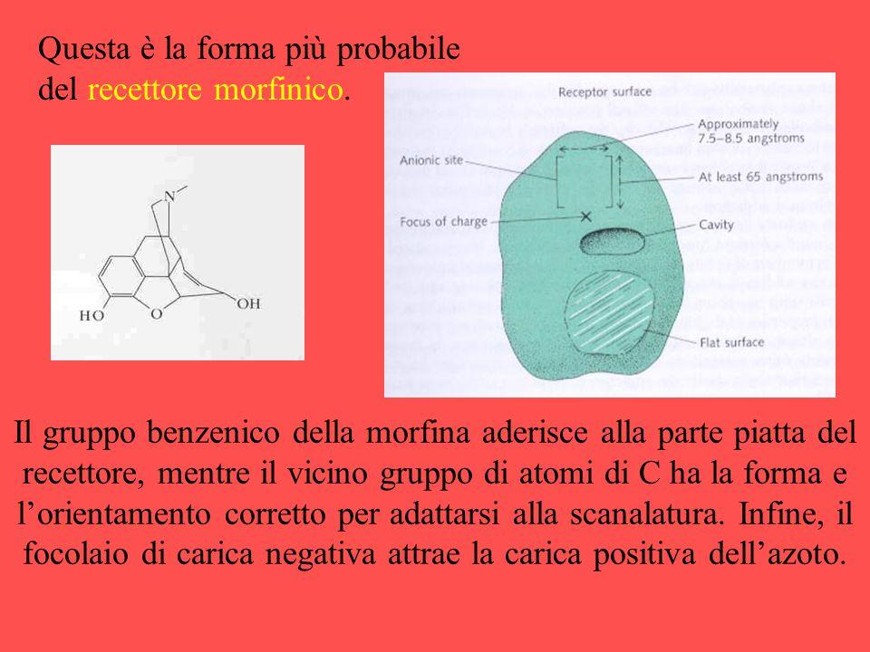 Questa è la forma più probabile del recettore morfinico.
