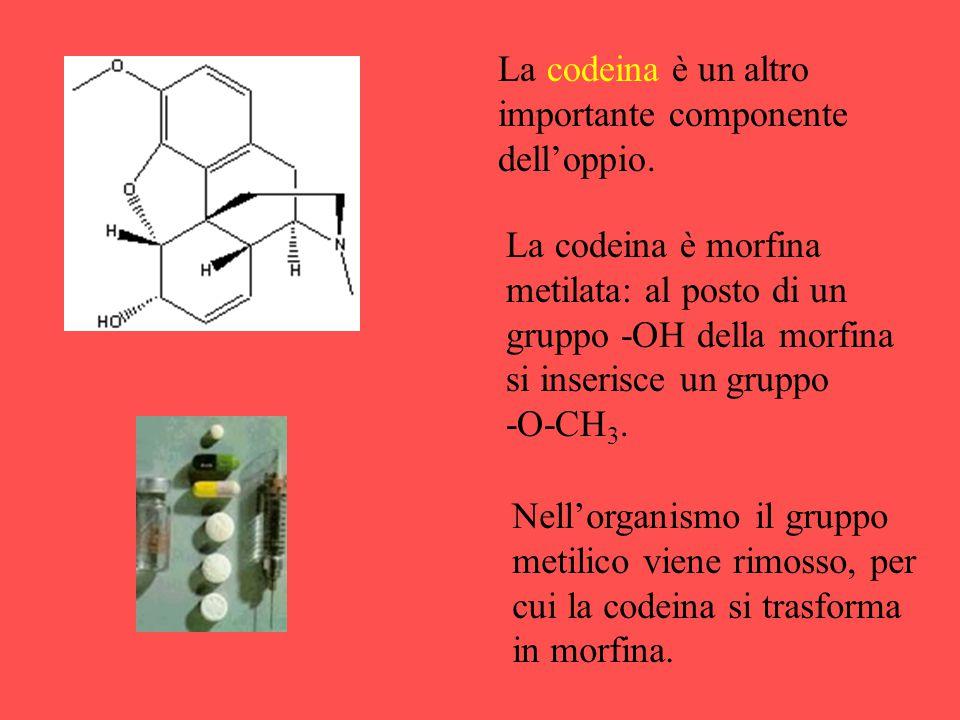 La codeina è un altro importante componente dell'oppio.