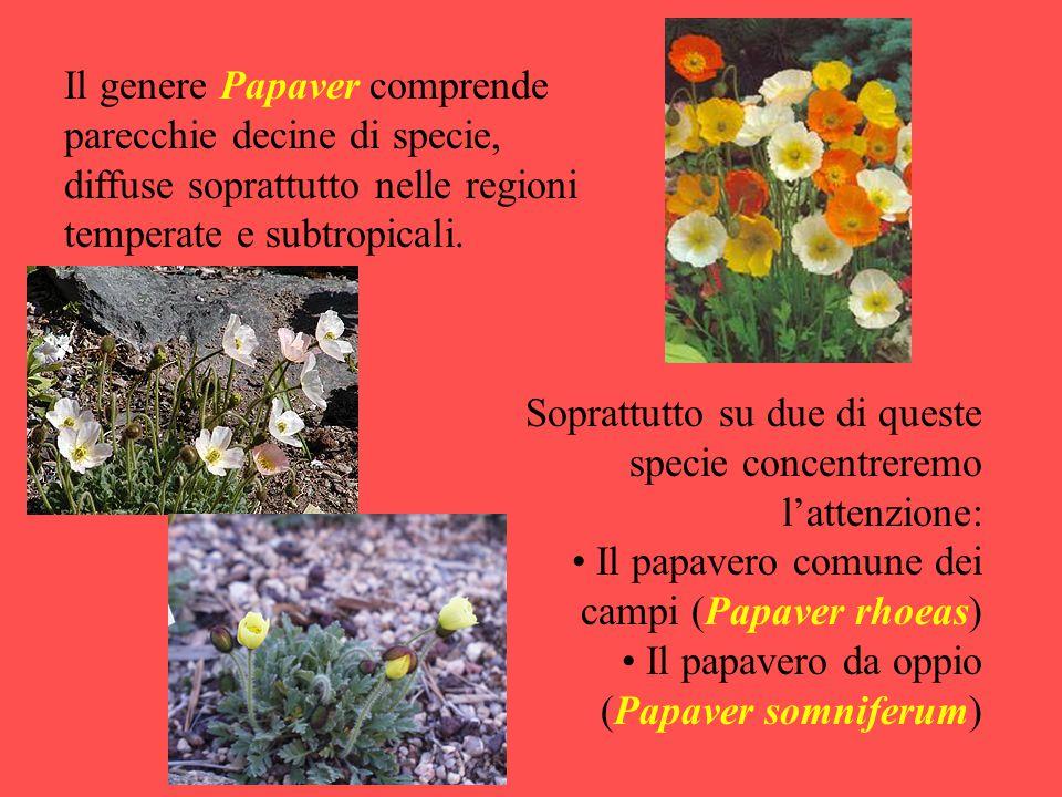 Il genere Papaver comprende parecchie decine di specie, diffuse soprattutto nelle regioni temperate e subtropicali.