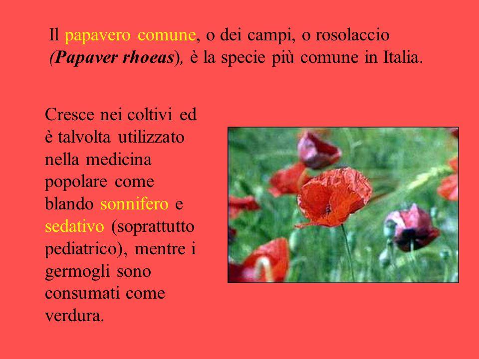 Il papavero comune, o dei campi, o rosolaccio (Papaver rhoeas), è la specie più comune in Italia.