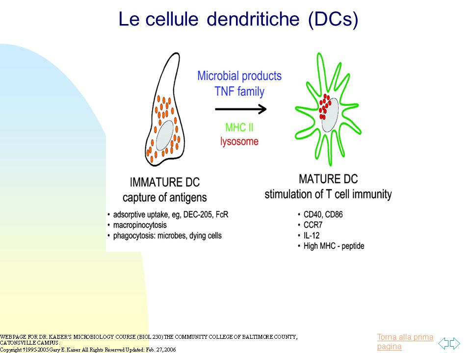 Le cellule dendritiche (DCs)