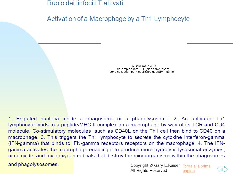 Ruolo dei linfociti T attivati Activation of a Macrophage by a Th1 Lymphocyte