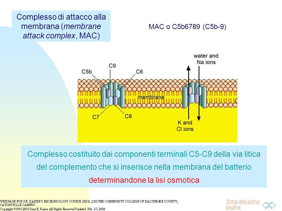 Complesso di attacco alla membrana (membrane attack complex, MAC)