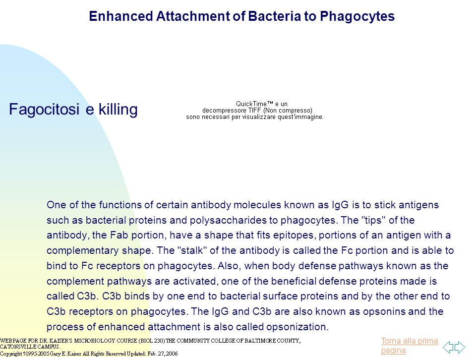 Enhanced Attachment of Bacteria to Phagocytes