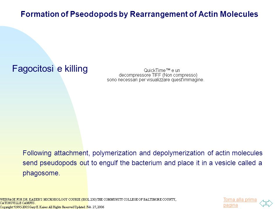 Formation of Pseodopods by Rearrangement of Actin Molecules