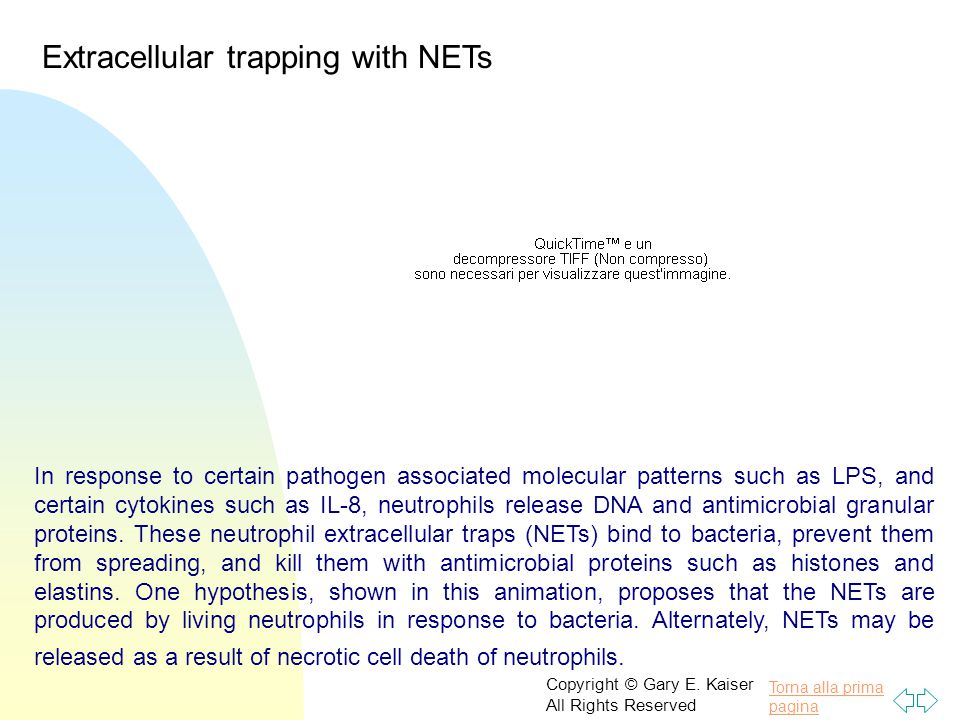 Extracellular trapping with NETs