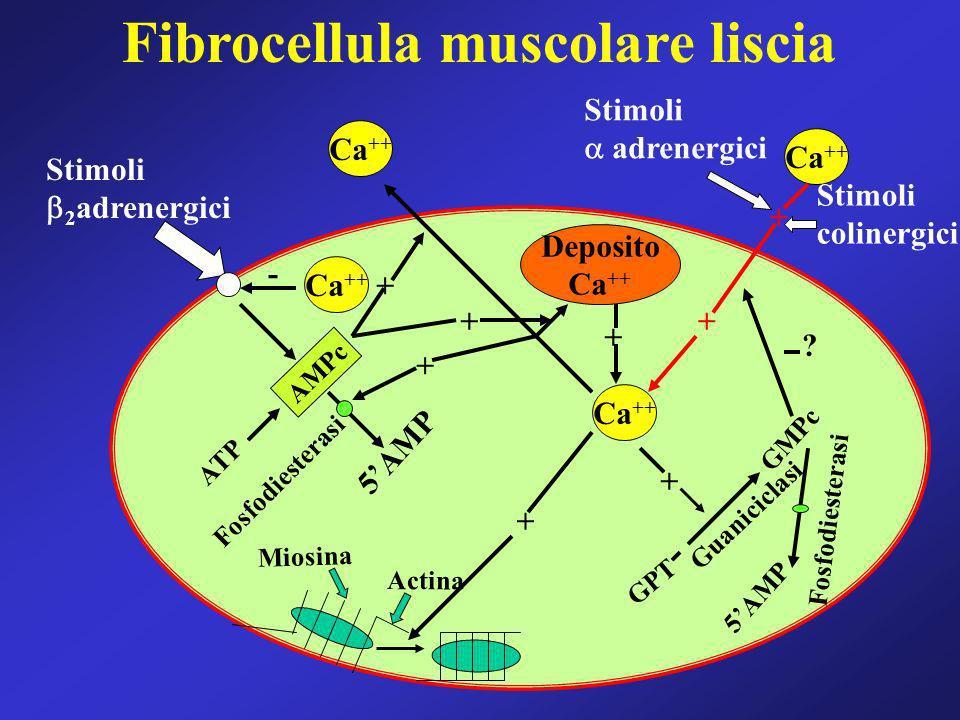 Fibrocellula muscolare liscia