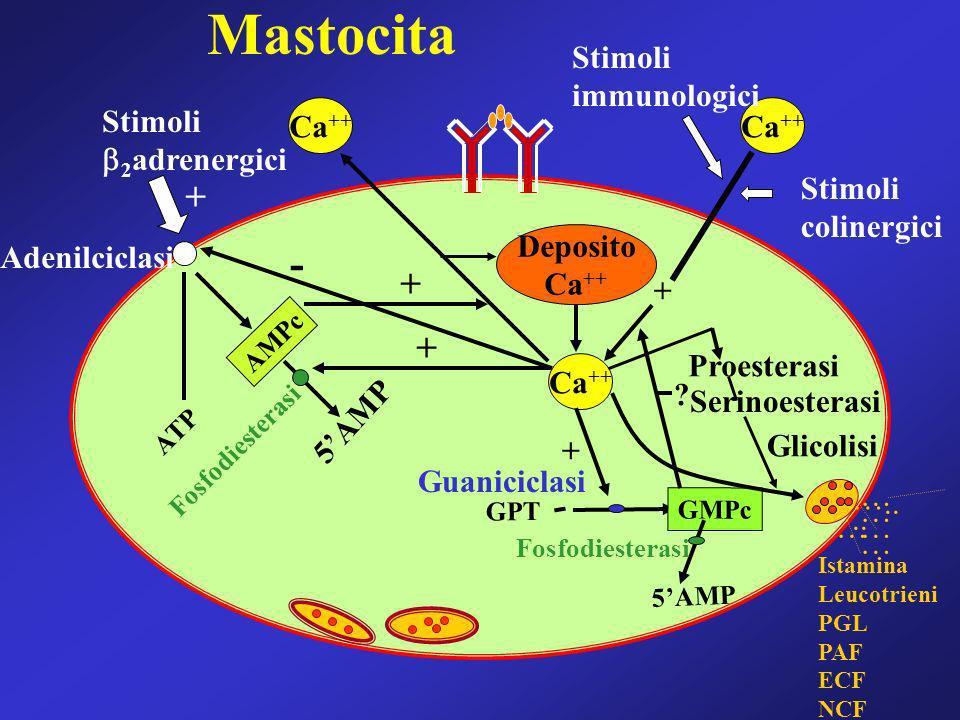 Mastocita - + + + Stimoli immunologici Stimoli 2adrenergici Ca++ Ca++