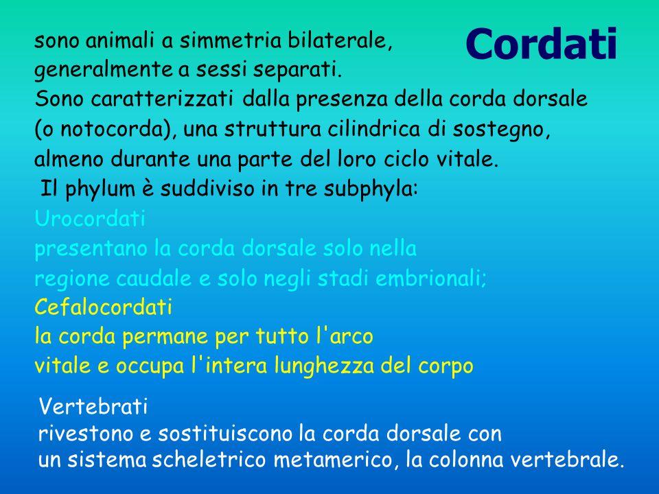 Cordati sono animali a simmetria bilaterale,