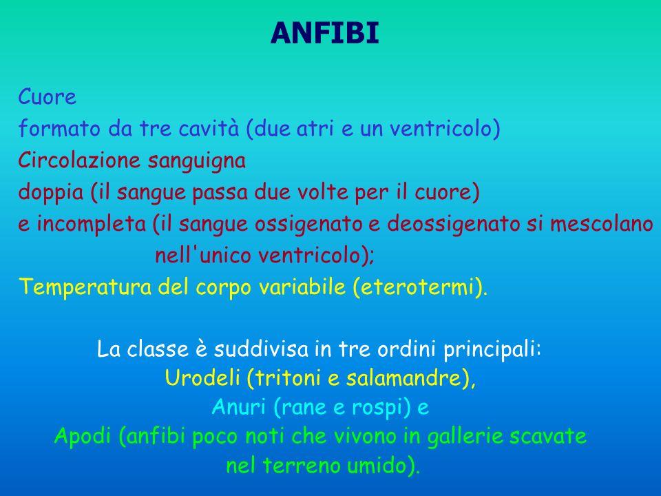 ANFIBI Cuore formato da tre cavità (due atri e un ventricolo)